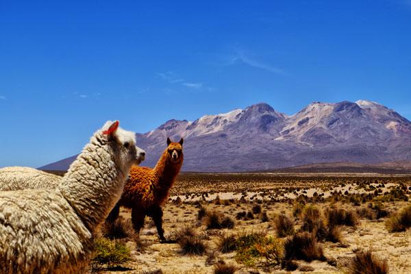 Alpaca in Perù