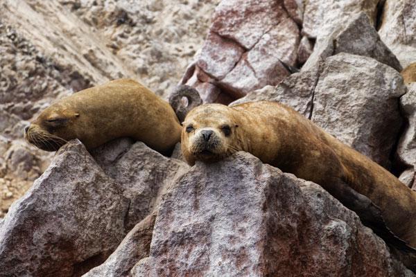 Foche monache alle isole Ballestas in Perù