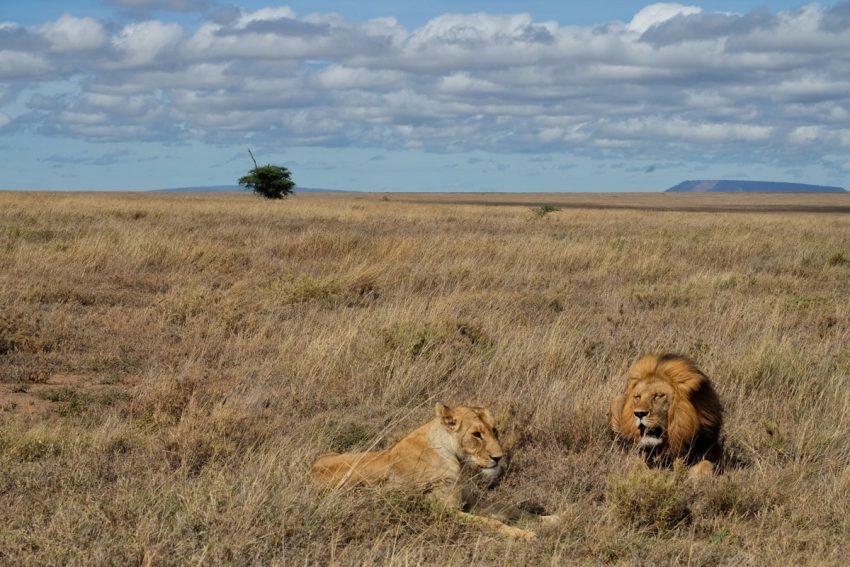 Torneremo a viaggiare per sentirci liberi come due leoni nel Serengeti in Tanzania