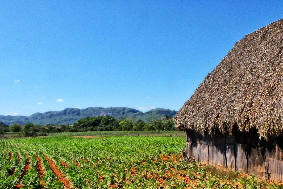 Piantagioni di tabacco a Vinales fotografate durante il viaggio a Cuba